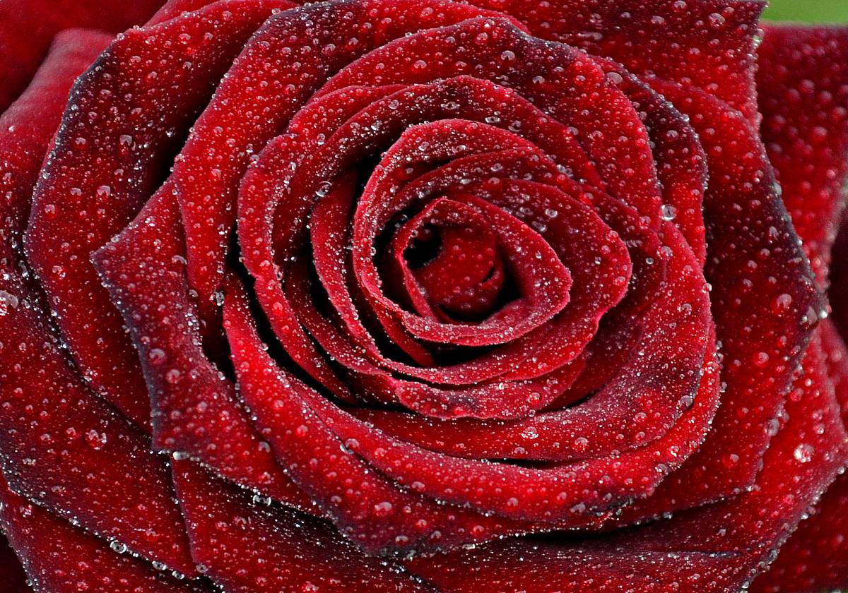 Ce-inseamna-cand-visezi-trandafiri-rosii-2
