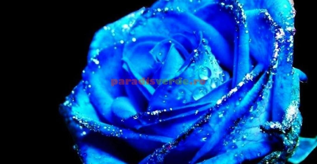trandafir-albastru